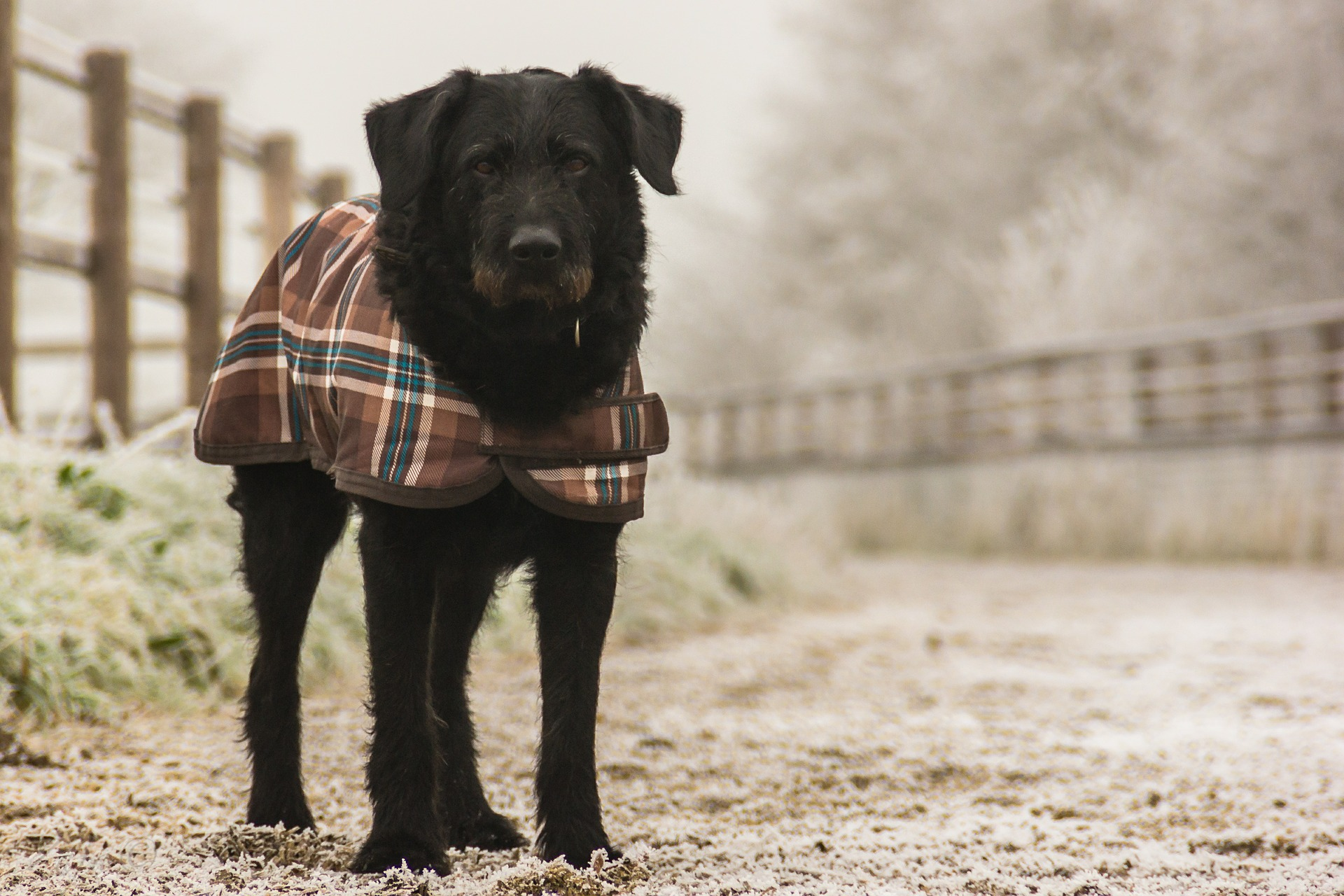 dog with winter coat