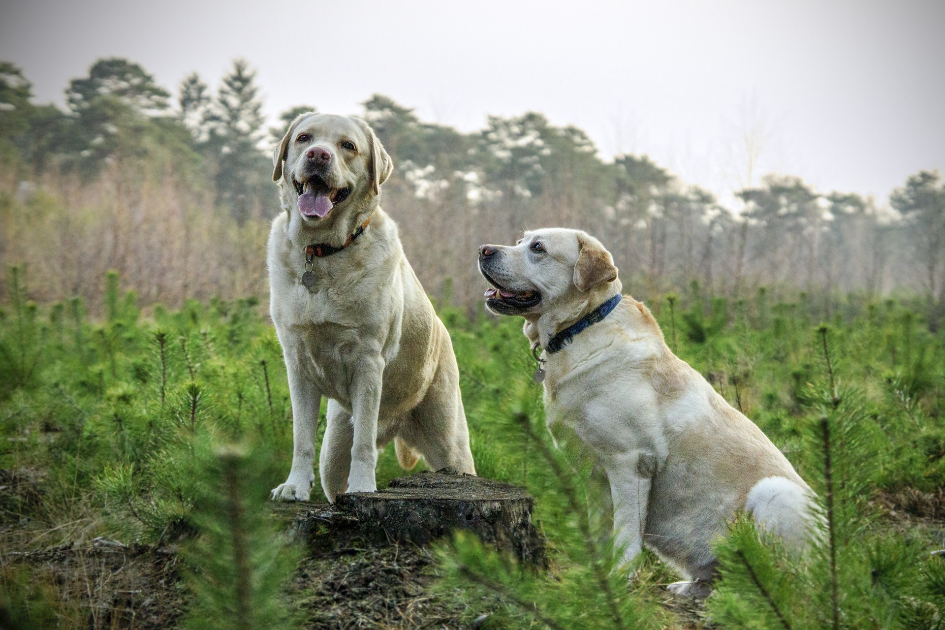 2 labs in grass