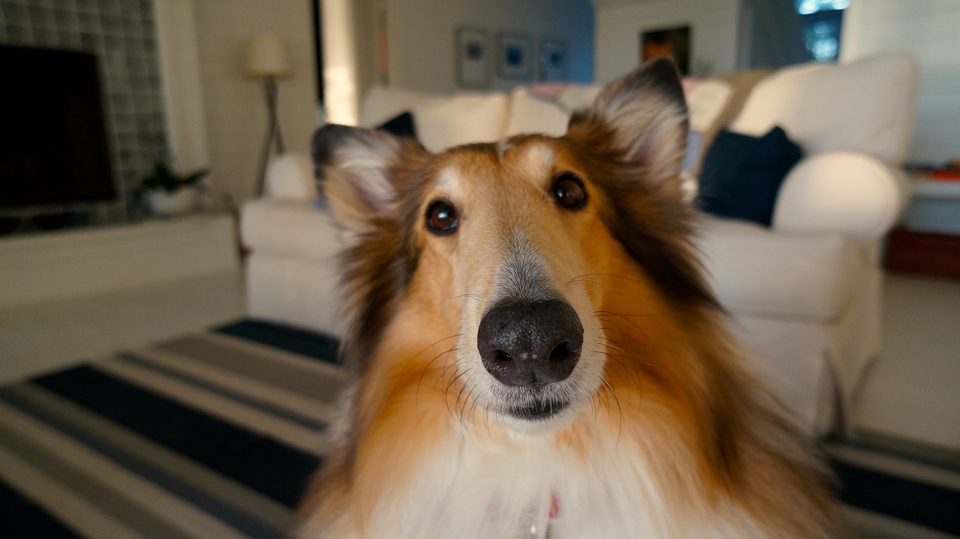 collie with big eyes